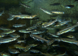 Eurasian Minnows aquatic toxicity